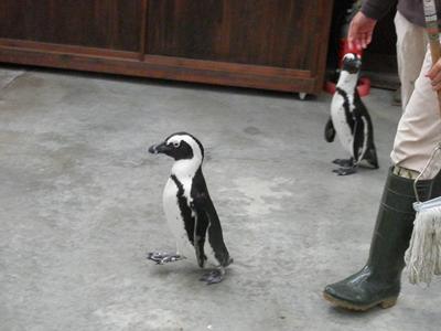 お散歩ペンギン6