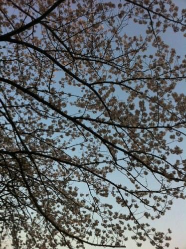 sakura_20120411154545.jpg