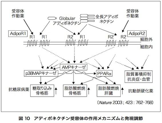 アディポネクチン論文 図10