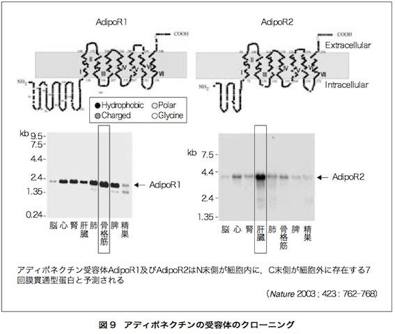 アディポネクチン論文 図9