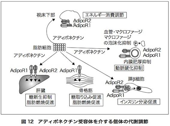 アディポネクチン論文 図12