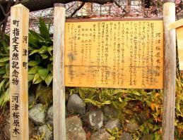 河津桜原木21