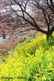 みなみの桜94a
