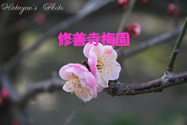 修善寺梅園baa