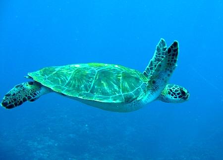 アオウミガメ (4)
