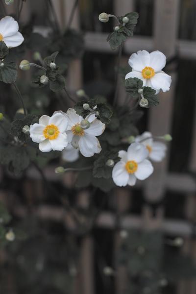 sd15-50mm-10-175-金華山」川原街SDIM9409_R