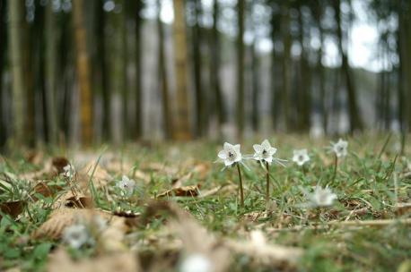 セツブンソウの咲く風景