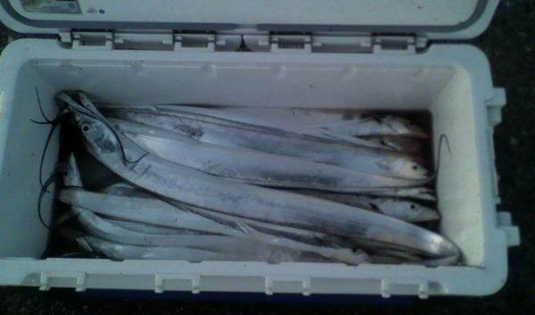 喜多さんのクーラーボックスには30匹のタチウオが(*^^)v
