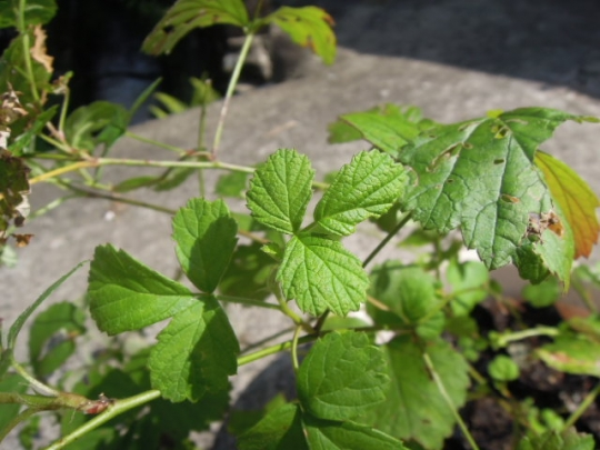ナワシロイチゴの葉 H26