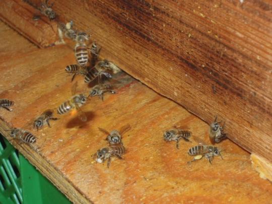 日本蜜蜂の様子 H260926
