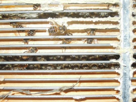 日本蜜蜂の内検 H260926