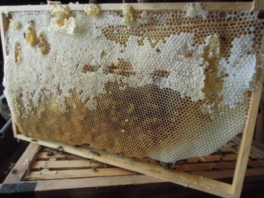日本蜜蜂の単枠 H260926