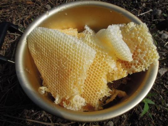日本蜜蜂の採蜜 H260926