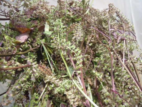 紫蘇の実の収穫
