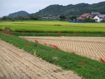 あっという間に咲いた彼岸花と刈り終った田んぼさん