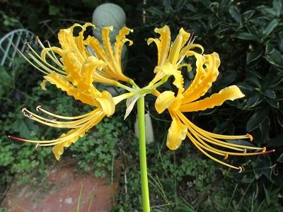 ひとつだけ咲いた黄色の彼岸花