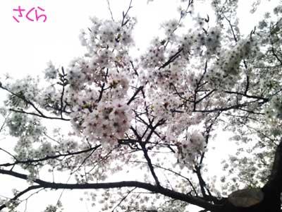 sakura2_20110422005559.jpg