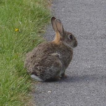 野ウサギさん