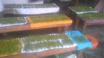 インゲン収穫