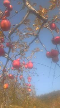 長野リンゴ