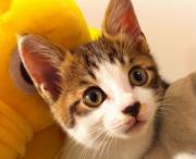 100812 子猫♀の飼主さん募集中!