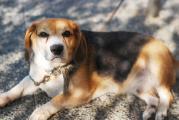 譲渡対象犬ビーグル2010.9.19