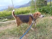 迷い犬ビーグル2010.9.12