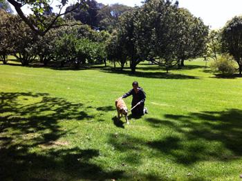 羊の国のラブラドール絵日記、お友達来訪5