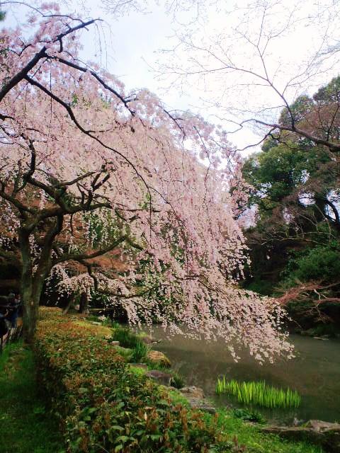 近衛邸の糸桜
