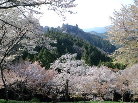 吉野の桜3