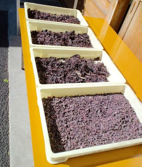大原の紫蘇