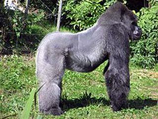250px-Bristol_zoo_western_lowland_gorilla_arp_R.jpg