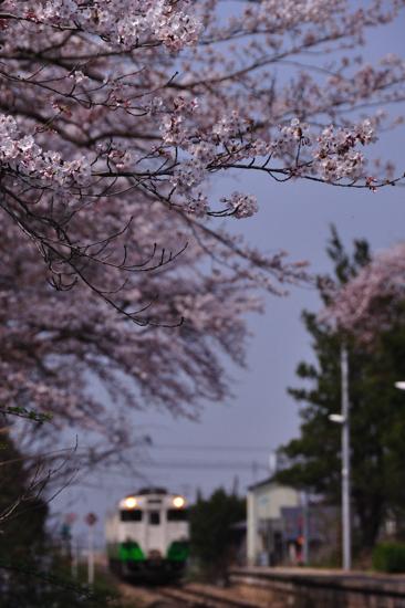 niitsuru sakura