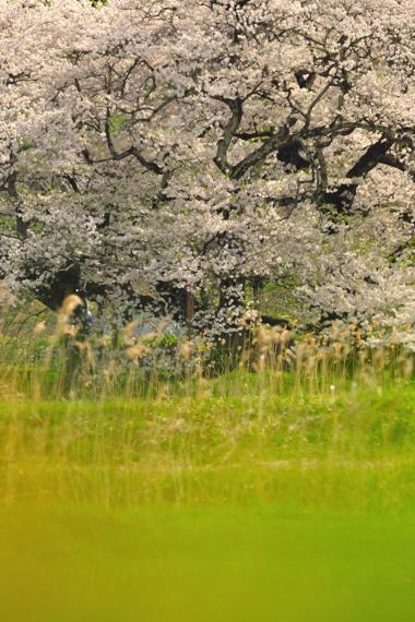 ishibezakura awaiiro