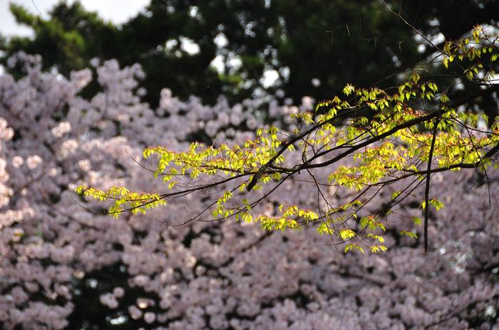 sakura3_20120502191014.jpg