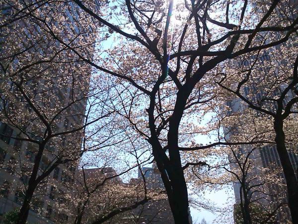 20110413sakura1