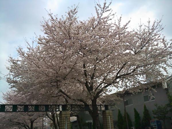 20110413sakura2