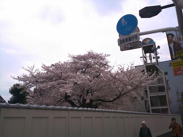 20110414sakura3