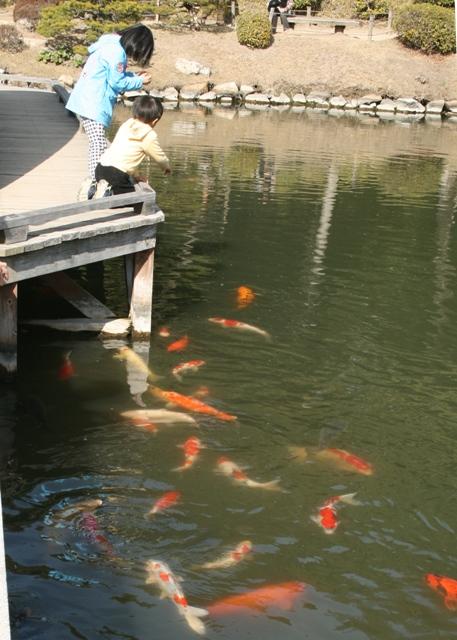 110226 縮景園池のコイ W