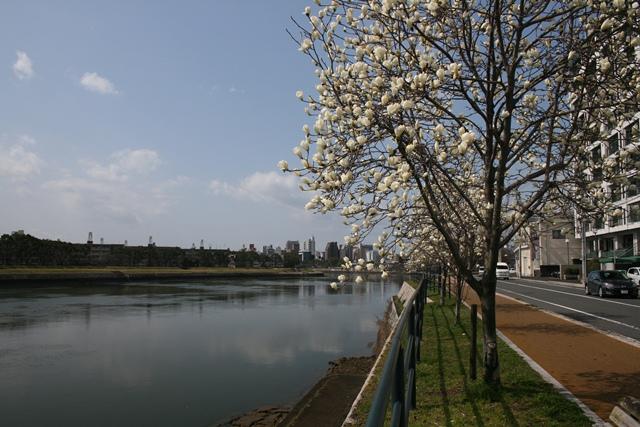 IMG_9863 太田川河畔の白モクレン並木 W