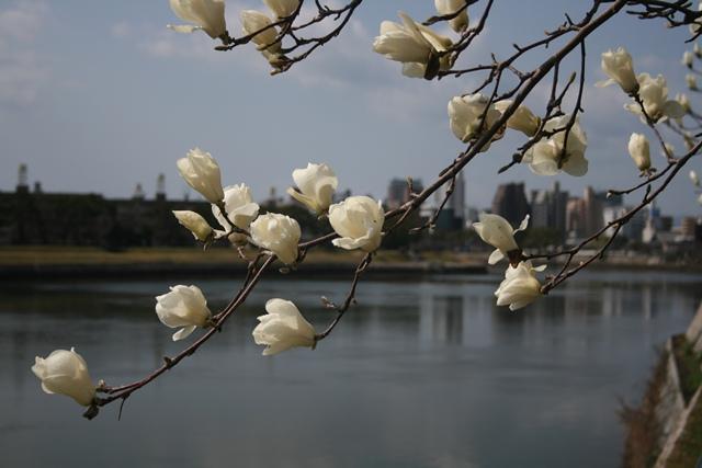 IMG_9865 太田川河畔の白モクレン W