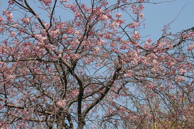 IMG_0030 枝垂桜 W