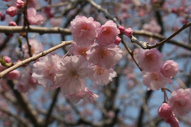 IMG_0027 枝垂桜アップ W
