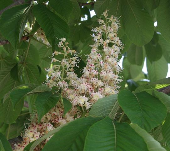 IMG_0477 栃の木 花 W