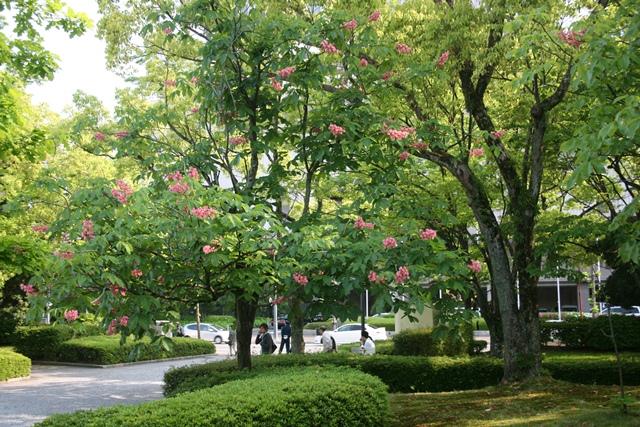 IMG_0485 広島美術館マロニエの花 W