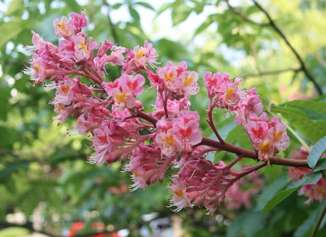 IMG_0495 マロニエの花 W