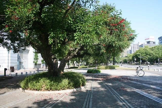 IMG_0868 アメリカデイゴの木 W