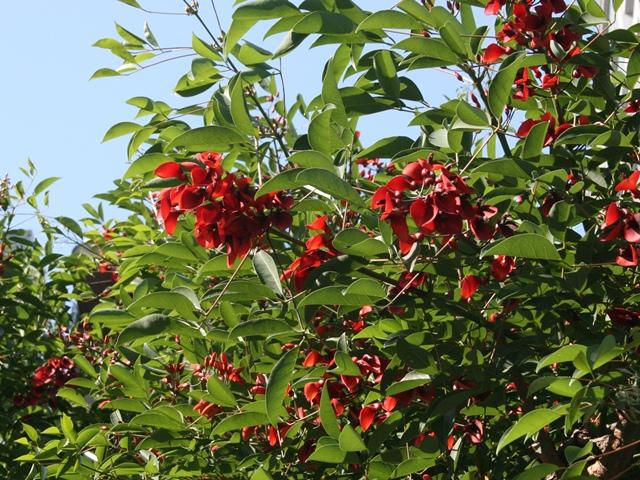 IMG_0863 アメリカデイゴの花 W