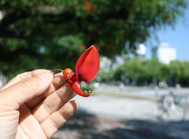 IMG_0887 アメリカデイゴの花 W
