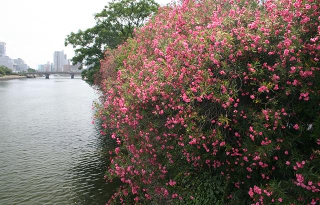 IMG_1810 太田川河畔のキョウチクトウ W